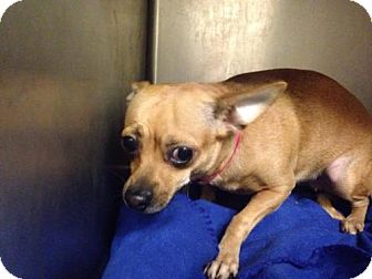 Chihuahua Mix Dog for adoption in Beckley, West Virginia - Peanut
