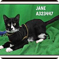 Domestic Mediumhair Cat for adoption in St. Peters, Missouri - JANE