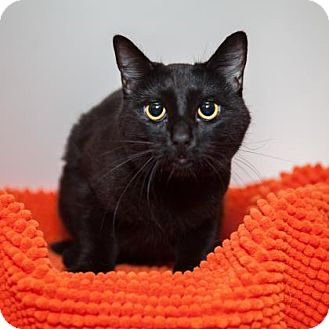 Domestic Shorthair Cat for adoption in Mission Hills, California - Luna