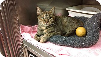 Domestic Shorthair Kitten for adoption in Whitestone, New York - jomay