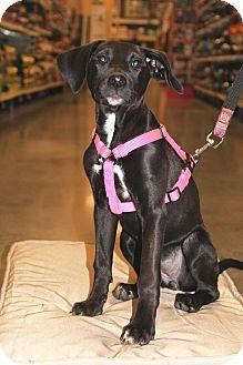 Labrador Retriever/Australian Shepherd Mix Puppy for adoption in New Oxford, Pennsylvania - Iverson
