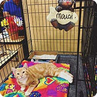 Domestic Shorthair Kitten for adoption in Chino Hills, California - Mouch