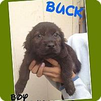 Adopt A Pet :: Buck - LAKEWOOD, CA