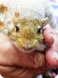 Gerbil for adoption in Lewisville, Texas - Gigantor
