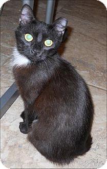 Domestic Shorthair Cat for adoption in San Antonio, Texas - Pearl