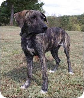 Dodger | Adopted Puppy | Flint, MI | Great Dane/Mastiff Mix