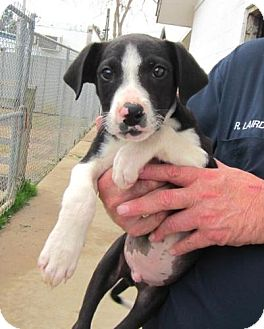 Border Collie/Labrador Retriever Mix Puppy for adoption in Richmond, Virginia - Tucker