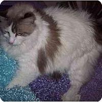 Adopt A Pet :: Cressida - Dallas, TX