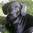Adopt A Pet :: Brit