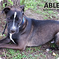 Adopt A Pet :: Able - Virginia Beach, VA