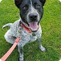Adopt A Pet :: JERSEY GIRL - Anaheim Hills, CA