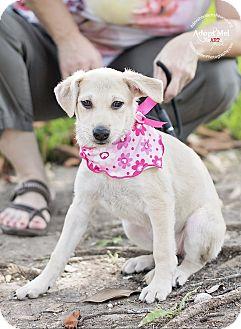 Labrador Retriever/Chihuahua Mix Puppy for adoption in Portland, Oregon - Susanna
