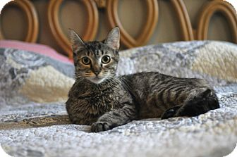 Domestic Shorthair Cat for adoption in Stillwater, Montana - Sarafena