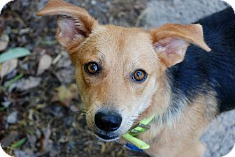Corgi/Shepherd (Unknown Type) Mix Dog for adoption in Salem, West Virginia - Brownie
