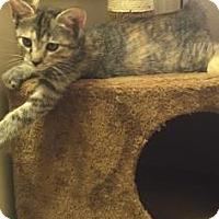 Adopt A Pet :: TOASTIE - Fountain Hills, AZ