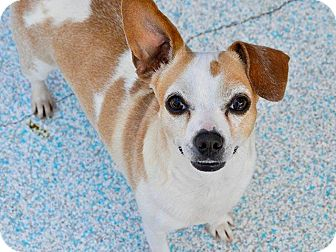 Chihuahua Mix Dog for adoption in Long Beach, California - Diamond