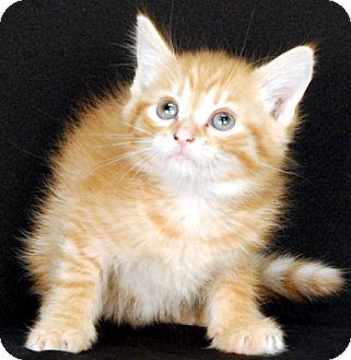 Domestic Shorthair Kitten for adoption in Newland, North Carolina - Trucker