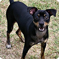 Miniature Pinscher/Terrier (Unknown Type, Small) Mix Dog for adoption in Richland Hills, Texas - Blue