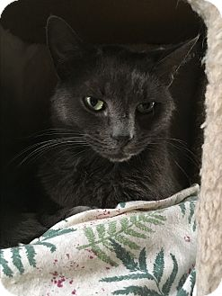 Domestic Shorthair Cat for adoption in Middletown, New York - Tickle Belly