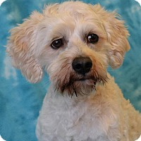 Poodle (Miniature) Mix Dog for adoption in Eureka, California - Milo