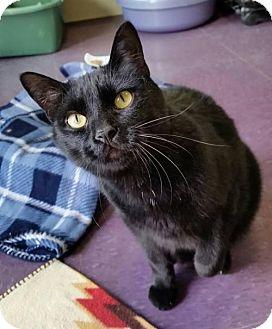 Domestic Shorthair Cat for adoption in Lakewood, Colorado - Edgar