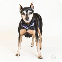 Adopt A Pet :: Lulu - Naperville, IL