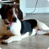 Adopt A Pet :: Blackie - Tampa, FL