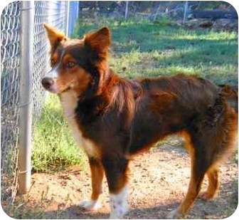 Australian Shepherd/Sheltie, Shetland Sheepdog Mix Dog for adoption in Phoenix, Arizona - Ruby