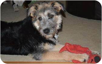 german shepherd irish wolfhound mix celia pending adopted puppy all of ct german 7263