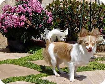 Papillon/Chihuahua Mix Dog for adoption in San Diego, California - Holly