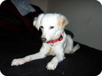 Opal Adopted Dog Tustin Ca Italian Greyhound Spaniel Unknown Type Mix