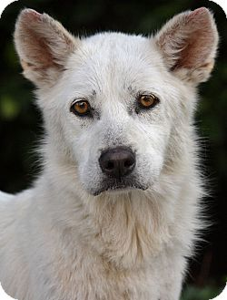 Husky/Jindo Mix Dog for adoption in Los Angeles, California - Scully von Mimster