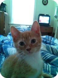 Domestic Shorthair Kitten for adoption in Horsham, Pennsylvania - Redman