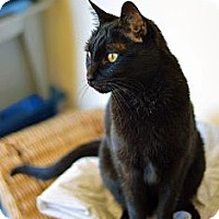 Domestic Shorthair Cat for adoption in Omaha, Nebraska - Jack