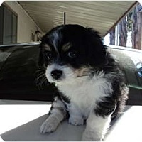Adopt A Pet :: Male tri-color - Morgan Hill, CA