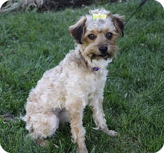 Border Terrier Poodle Mix Pictures to Pin on Pinterest ...