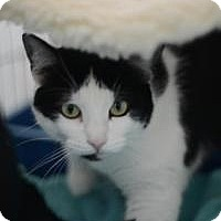 American Shorthair Cat for adoption in New Orleans, Louisiana - Penny