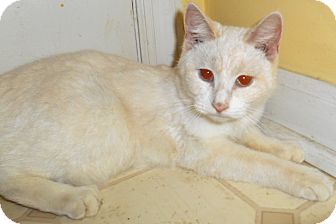 Siamese Cat for adoption in Chattanooga, Tennessee - Celia