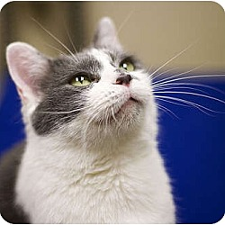 Photo 1 - Domestic Shorthair Cat for adoption in Chicago, Illinois - Athena
