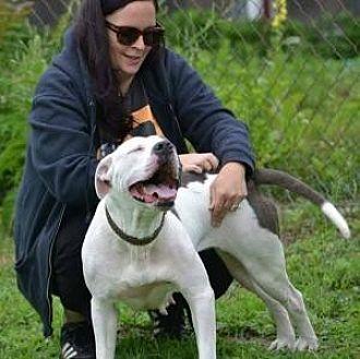 Pit Bull Terrier Dog for adoption in Fulton, Missouri - Ava - Rhode Island