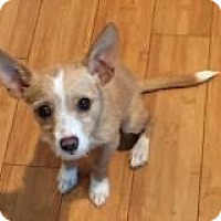 Adopt A Pet :: PUPPY SAM - Bainbridge Island, WA