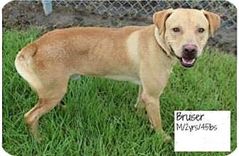 Labrador Retriever Mix Dog for adoption in Covington, Louisiana - Bruiser
