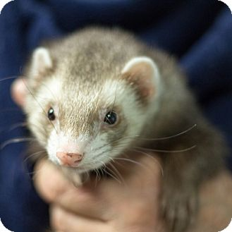 Ferret for adoption in Balch Springs, Texas - Curley Joe