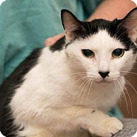 Domestic Shorthair Cat for adoption in Houston, Texas - Pongo