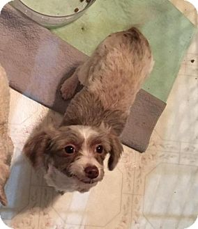 Chinese Crested/Poodle (Miniature) Mix Dog for adoption in Hedgesville, West Virginia - Chloe Girl