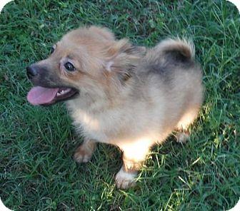 Pomeranian/Poodle (Miniature) Mix Puppy for adoption in Venice, Florida - Spunxy