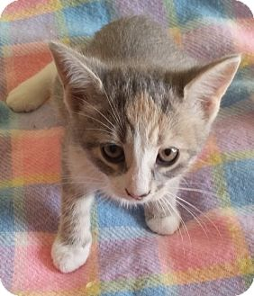 Domestic Shorthair Kitten for adoption in Woodstock, Ontario - Olivia