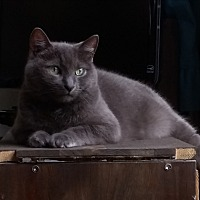 Domestic Shorthair Cat for adoption in Toronto, Ontario - Charolette