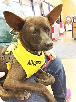 Chihuahua Mix Dog for adoption in Durham, North Carolina - Diesel