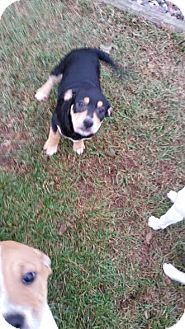 Beagle Mix Puppy for adoption in Chippewa Falls, Wisconsin - Layla